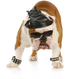 Tough Biker Dog Royalty Free Stock Photo