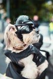 Tough biker dog Stock Photography