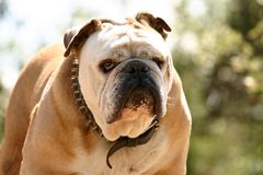 Tough bulldog Royalty Free Stock Photography