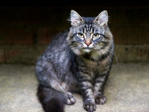 Tough cat ready for action. Tough cat stares ready for action royalty free stock photos