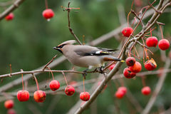 Tough choice. Bohemian waxwing (Bombycilla garrulus) checking out the supply of fruit in a crab apple tree Stock Photography