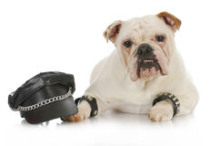 Tough dog. English bulldog dressed up like a biker on white background Royalty Free Stock Images