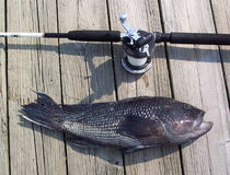 Tough Fighter. Photo of 4lb Black Seabass caught off the coast of Ocean City Maryland on a headboat Stock Image