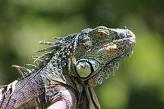 Tough Iguana Stock Photo