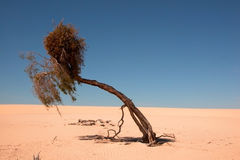 A tough life. For a tree in the desert, Lake Mungo National Park, Australia Royalty Free Stock Photos