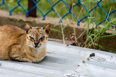 A tough looking street cat with face scars from fighting sat on Stock Images