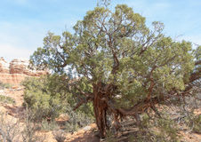 Tough Old Utah Juniper Stock Photography