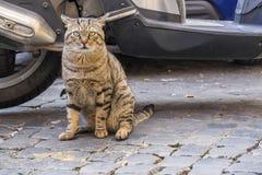 Tough Street Cat of Rome 2 stock photo
