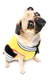 Tough Stuff. Male Pug in sports style jacket.  Isolated on white Royalty Free Stock Image