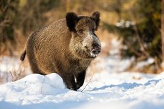 Free Tough Wild Boar Running On A Snowy Meadow Covered In Snow In Wintertime. Stock Images - 166403274