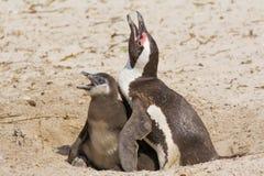 Toujours de la mère et du Chicklet de pingouin Photo libre de droits