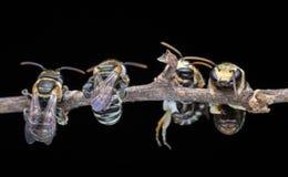 Toujours ensemble des abeilles Photo libre de droits