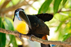 Toukan looking. Colorful bird called toucan sitting on branch and looking Stock Image