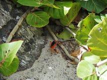Touloulou,加勒比的小的螃蟹海滩的边缘的 库存照片