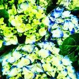 Toulousain flower Royalty Free Stock Photo
