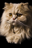 Toulouse The Cat. This is my pet named Toulouse like the one from the Aristocats royalty free stock photo
