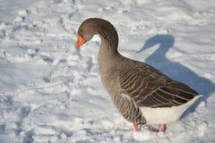 Toulouse gås i snön Royaltyfria Bilder