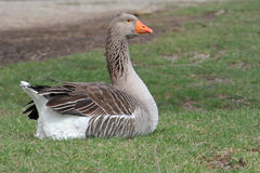 Toulouse goose Royalty Free Stock Photo
