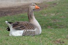 Toulouse goose Royalty Free Stock Photo