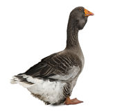 Toulouse goose. In front of white background, studio shot Royalty Free Stock Image