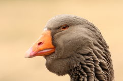 Toulouse goose portrait Stock Photos