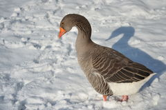 Toulouse Goose in the snow. Toulouse Goose wading through the snow Royalty Free Stock Images