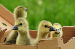 Toulouse goslings in a box Stock Images