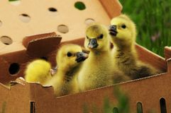 Toulouse goslings in a box Stock Photos