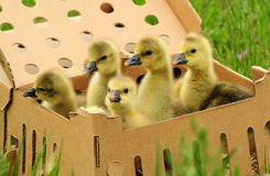 Toulouse goslings in a box Royalty Free Stock Images