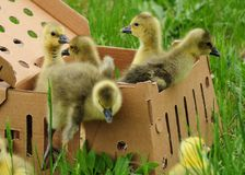Toulouse goslings in a box Stock Photography
