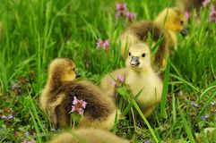 Toulouse goslings Stock Photography