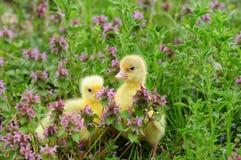 Toulouse goslings Stock Photos