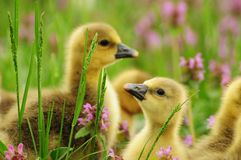 Toulouse goslings Stock Image