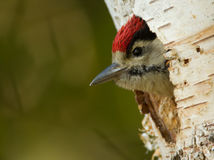 Toung woodpecker Stock Photo