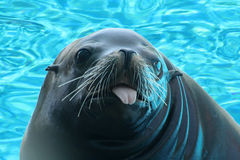 Toungue out seal. A seal sticks his tongue out Stock Photo
