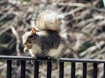 Tour d'adresse sur le rail de plate-forme par Grey Squirrel Holding Peanut dans l'it& x27 ; bouche de s Photographie stock