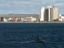 Tour de baleine droite Images stock