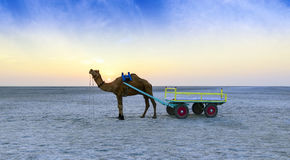 Tour de chameau de coucher du soleil chez grand Rann de Kutch, Goudjerate photo stock