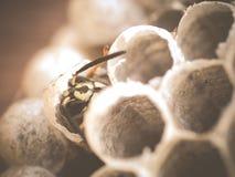 Tour de larvea de guêpe dans la guêpe adulte Photographie stock libre de droits
