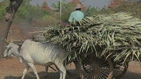 Tour de prise de touristes de chariot, Bagan clips vidéos