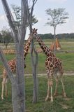 Tour deux d'arbre d'arround de girafe zoo de Columbus, Ohio Photographie stock