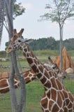 Tour deux d'arbre d'arround de girafe zoo de Columbus, Ohio Photos libres de droits