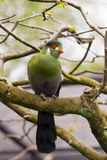Touraco fischeri bird. Portrait of subtropical Fischer`s turaco Tauraco fischeri, species of bird in the family Musophagidae Stock Photo