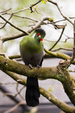 Touraco fischeri bird. Portrait of subtropical Fischer`s turaco Tauraco fischeri, species of bird in the family Musophagidae Stock Image