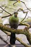 Touraco fischeri bird. Portrait of subtropical Fischer`s turaco Tauraco fischeri, species of bird in the family Musophagidae Royalty Free Stock Image