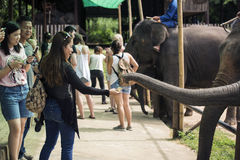Tourism feeding the elephant banana before elephant show. Stock Photography
