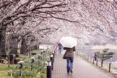 Tourism walking on Cherry Blossom Path at Lake Kawaguchi Royalty Free Stock Image