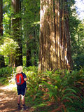 Tourist admiring giant Sequoia tree Royalty Free Stock Photos