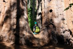 Tourist with backpack hiking among sequoia redwoods Stock Photo