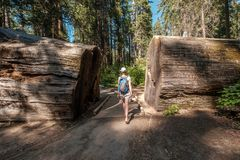 Tourist with backpack hiking among sequoia redwoods Royalty Free Stock Image